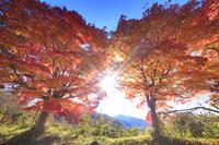 長野県 高遠城址公園 紅葉のモミジと午後の木漏れ日