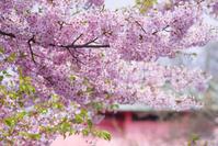 京都 車折神社 桜