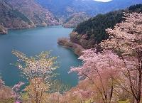 東京都 ヤマザクラと奥多摩湖(小河内貯水池)
