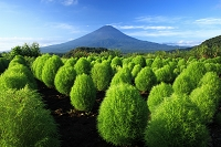 山梨県 富士河口湖町 大石公園 コキアと富士山