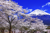 静岡県 常灯ヶ峰の桜林と富士山 大石寺