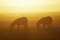 ケニア アンボセリ国立公園 朝焼け グラントシマウマ