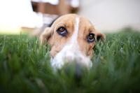 芝生に寝そべる犬