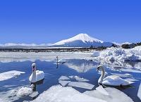 山梨県 氷結する山中湖から望む富士山と白鳥