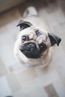 見上げるパグ 犬