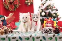 サイベリアン スコティッシュフォールド 子猫