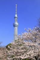 東京都 東京スカイツリーと桜