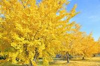 愛知県 銀杏並木と落ち葉