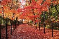 京都府 光明寺 雨あがりの敷き紅葉の参道と薬医門
