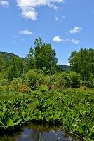 長野県 乗鞍高原 ドジョウ池とレンゲツツジ