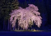 秋田県 湯沢市 白山神社 おしら様のしだれ桜