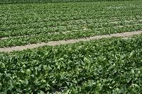 野菜 ほうれんそうの露地栽培