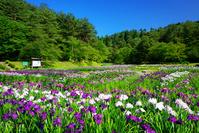 新潟県 五十公野公園 アヤメ園