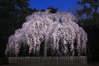 京都府 京都御苑 夜の出水のしだれ桜