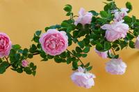 バラの花 コンスタンススプライ