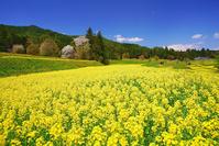 長野県 安曇野市 菜の花の段々畑と桜と古城山などの里山