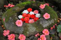 京都府 霊鑑寺 手水鉢に浮かれられた椿の花