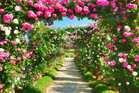 長野県 中野市 一本木公園のバラ園のアーチと遊歩道
