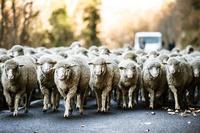 フランス  羊の群れ