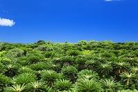 鹿児島県 あやまる岬のソテツ樹林
