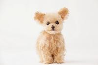 ティーカッププードル 犬