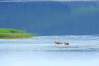 北海道 湖面にエゾ鹿の親子