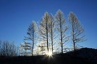 北海道 霧氷のカラマツ(五本の松)と日の出