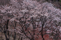 奈良県 曽爾村 屏風岩公苑 桜