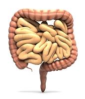 小腸と大腸、直腸