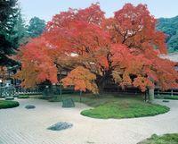 福岡県 雷山千如寺の大楓