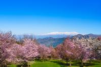 桜峠のオオヤマザクラと飯豊山
