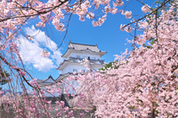 神奈川県 小田原市 小田原城の桜