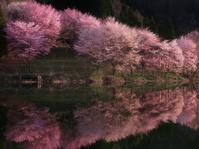 長野県 大町市 中綱湖の桜 夜明け