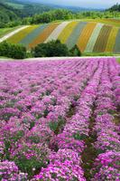 北海道 ナデシコ お花畑 四季彩の丘