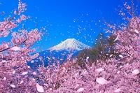富士山と桜吹雪