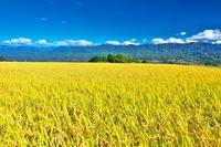 長野県 稲田と南アルプス