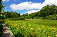 岐阜県 飛騨市 天生湿原のニッコウキスゲ群生