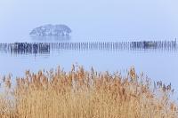 琵琶湖と葦 滋賀県