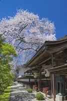 和歌山県 清浄心院の傘桜