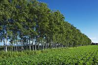 北海道 シラカバ林と豆畑