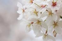大阪府 大阪城公園の満開の桜
