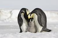 スノー・ヒル島 コウテイペンギンの親子