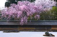京都府 龍安寺のしだれ桜