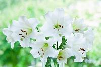 花瓶の白いユリの花