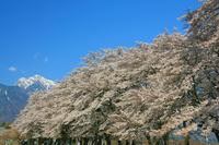 山梨県 真原の桜並木と甲斐駒ヶ岳