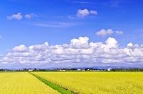北海道 実り豊かな秋の稲田