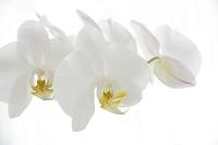 並んで咲く 胡蝶蘭