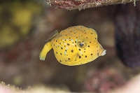 式根島 ハコフグの幼魚