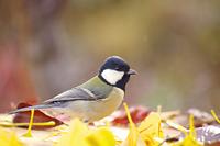 落ち葉のじゅうたんで小鳥が憩う