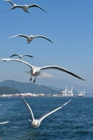 静岡県 ユリカモメ 清水港と富士山
